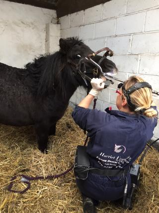 Equine Dental Technician at work